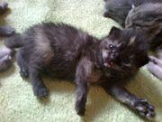 wunderschöne bkh kitten ende august