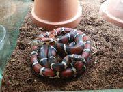 2 2 Königsnatterhybride Lampropeltis ssp -