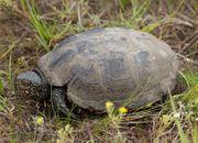 Suche Sumpfschildkröte