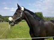 Dressurpferd sucht Reitbeteiligung Pferd sucht