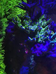 Montipora Starwars Korallen