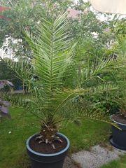 Phoenix Palmen