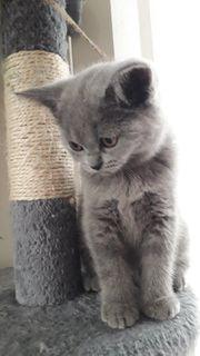 BKH 2 Katzenbabys
