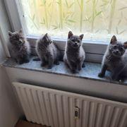 BKH Kitten Babys BLH