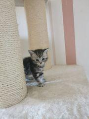 BKH Kitten mit teilweise blauen