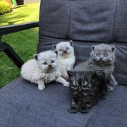 super süße Perser BKH Kätzchen
