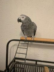 graue Papageien