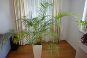 Palme Zimmerpflanze Areca-Palme Dypsis lutescens