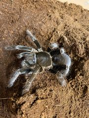 Gebe verschiedene Spinnen ab