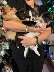 Wunderschöne Chihuahuas Welpen