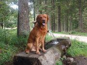 Sportlicher größere Labrador-Welpen in FOXRED