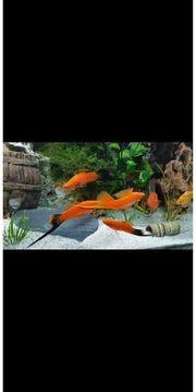 Schwertträger Fische Aquarium