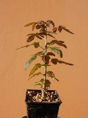 Boswellia ameero - Sukkulent - Caudex - Extrem selten