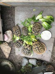 Landschildkröte suche THB Herci Weibchen