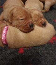 Labrador Welpen aus Hausaufzucht
