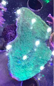 Korallen Ableger Montipora grün