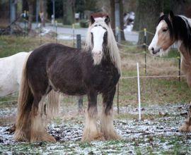 Pferde - Silver Dapple Irish Cob Deckhengst