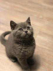 BKH Kitten reinrassig mit allem