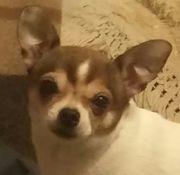 Chihuahua Hündin 3 farbig