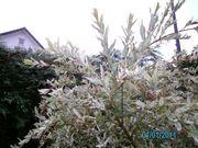 Weide Ahorn-Rosen-