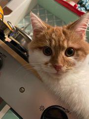 Junge Katze oder Kätzchen als