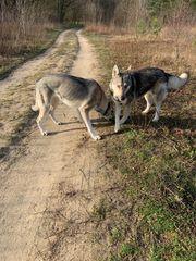 Wolfhunde Wolfshunde