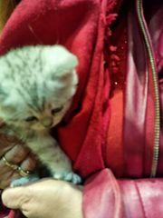 bkh kitten mit Stammbaum und