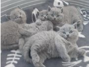 Gesunde Britisch Kurzhaar Kätzchen