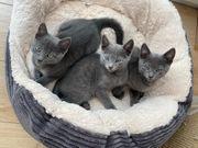 Russisch Blau Kitten ab sofort