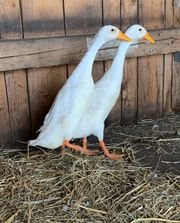 Indische Laufenten Ente Enten Schneckenfresser