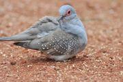 Diamant Tauben billig zu Abgabe