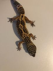 Leopardgecko Black Night abzugeben