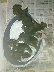 Süsse Hundewelpen suchen neue Butler