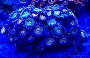 Meerwasser Zoanthus Gold Maul 5