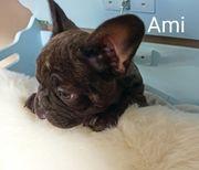 Französische Bulldogge Rüde mit Ahnentafel