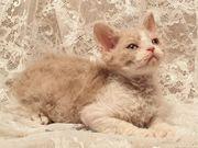 Selkirk Rex Kitten aus Internationalem