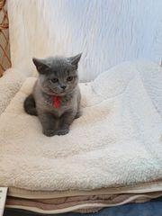 Reinrassig BKH kitten mit papire
