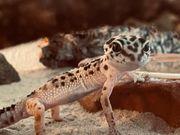 Leopardgecko mit Terrarium und Zubehör