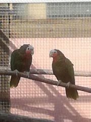 Zuchtpaar Kuba Amazonen