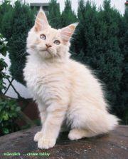 Reinrassige Maine Coon Kitten XXL