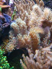 Fingerleder Koralle groß