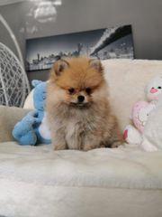 Reinrassige Pomeranian Mädchen