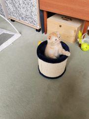 Scottisch Fold Kitten Kater