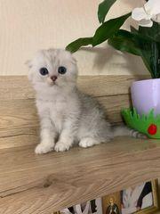 Süße BKH Katze sucht Familie