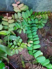 Marcgravia sinthenisii Kletterpflanze Ranke für