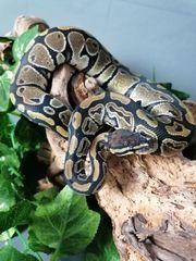 Königspython - Python regius 0 1