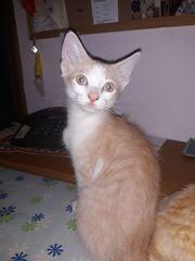 Süße Mischlings-Kitten ab sofort abzugeben