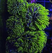 Briareum Harum Ultra grün Meerwasser