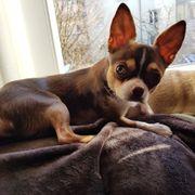 Chihuahua Deckrüde mit Ahnentafel