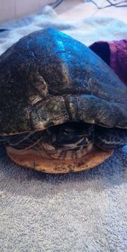 Geldwangen Schmuckschildkröte
